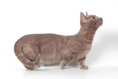 Jenis Kucing Munchkin