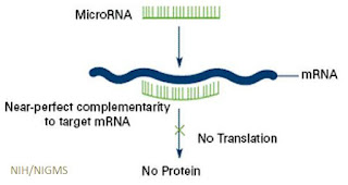 microrna prevent mRNA from making proteins and control cell machinery.