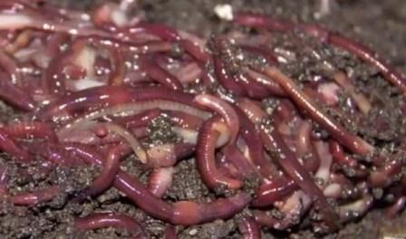 Cara Ternak Cacing sampai Panen