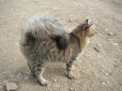 Perawatan Kucing American Ringtail