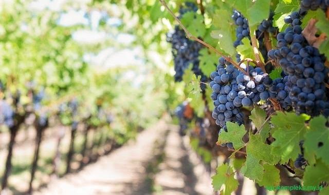 Budidaya anggur organik