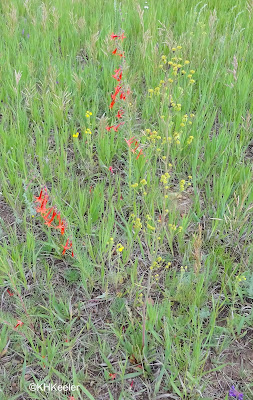 skyrocket and winged wild buckwheat