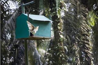 Pemanfaatan Burung Hantu Oleh RGE Untuk Membasmi Hama