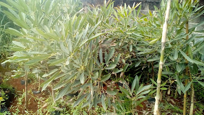 Jual Pohon Tabebuya,Jual Bibit Pohon Tabebuya,Jual Pohon Pelindung Tabebuya,Jual Pohon Tabebuya Murah