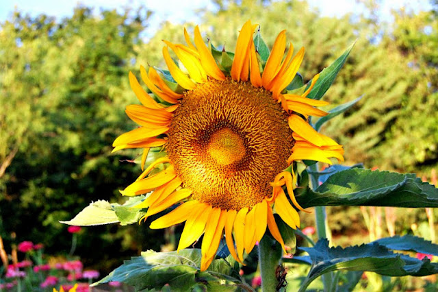 sunflower, homegrown, flower, farm, community, sunnydell