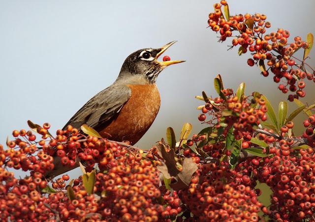 american robin wallpaper full hd