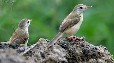 Tips dan Cara Memaksimalkan Suara Burung Ciblek Agar Cepat Gacor