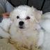 De Eerste Dagen Met Onze Maltipoo Puppy