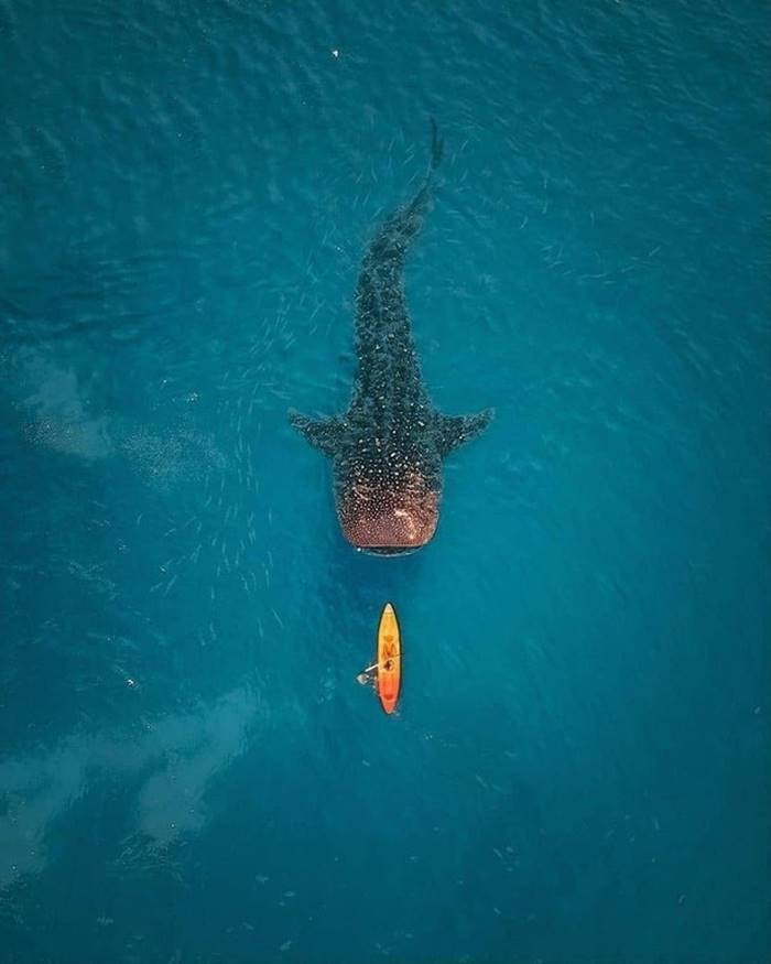It seems that a giant whale shark is preparing to make a kus. In fact, these sharks are real paws and people don't eat