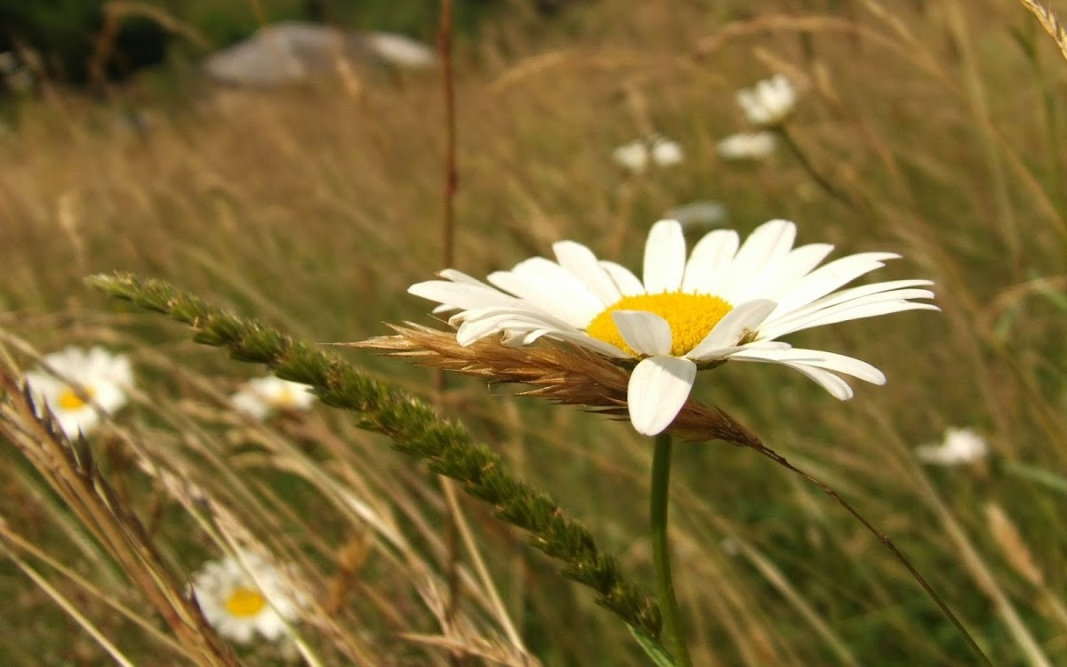 White Flowers Widescreen HD Wallpaper 6