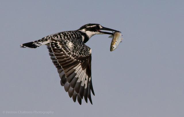 Pied Kingfisher in Flight over the Diep River Woodbridge Island Photo: Vernon Chalmers