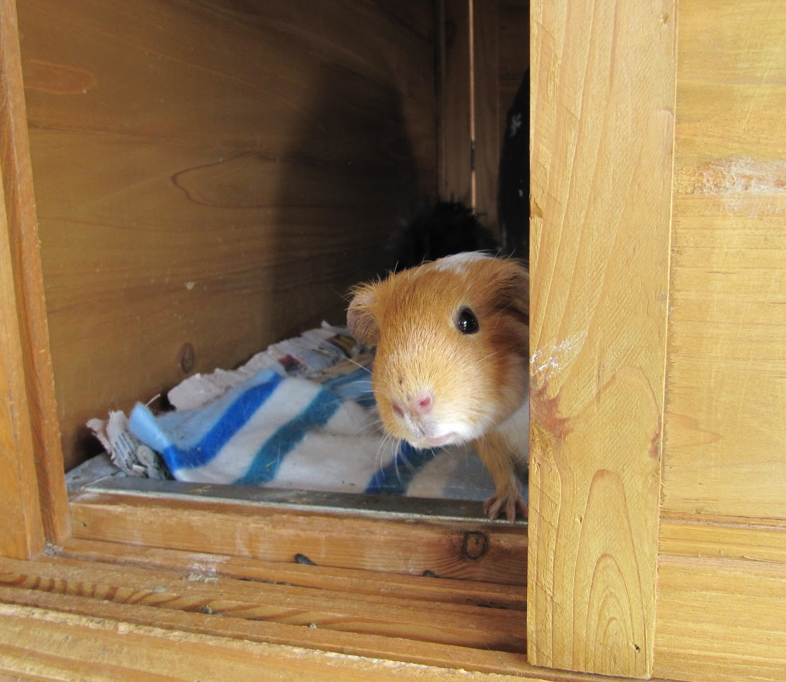 All things guinea pig for Free guinea pig stuff