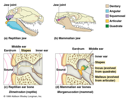 Ear bones images human anatomy organs diagram mammalian middle ear macroevolution marmotism ccuart Image collections