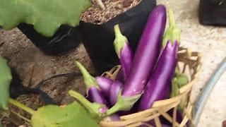 menanam terong ungu di polybag