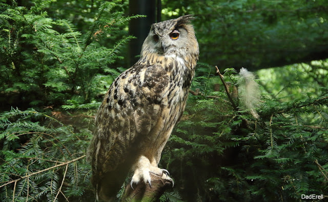 Hibou Grand-Duc, Parc des Oiseaux de Villars-les-Dombes