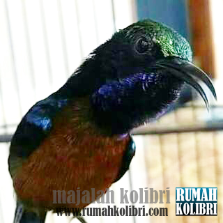 Pakan terbaik kolibri ninja