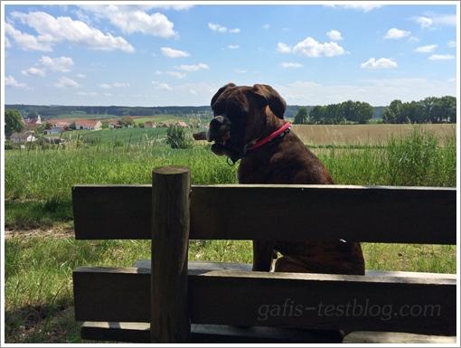 Boxer Amy auf der Bank