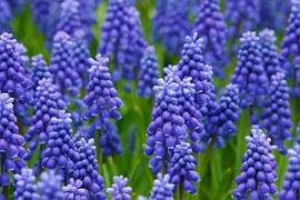 hyacinth-21687__180.jpg