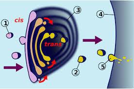 pengertian struktur badan golgi