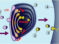 9 Pengertian Badan Golgi, Struktur dan Fungsi Badan Golgi