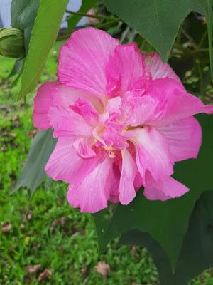 Bunga Laki Pukul Bini
