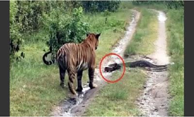 Video : जब बाघ के सामने अचानक आ गया विशाल अजगर, देखिये वीडियो