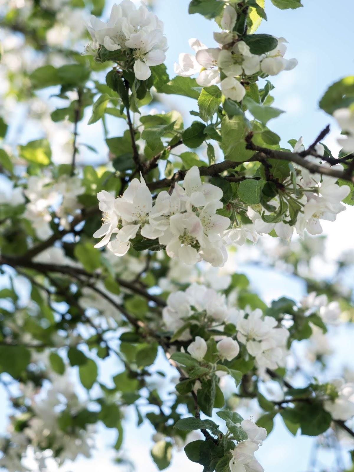 omenapuun kukinta