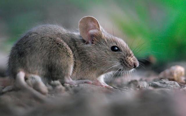 මීයෝ ගැන අරුම පුදුම විස්තර (Amazing Details About Rat - Miyo) - Your Choice Way