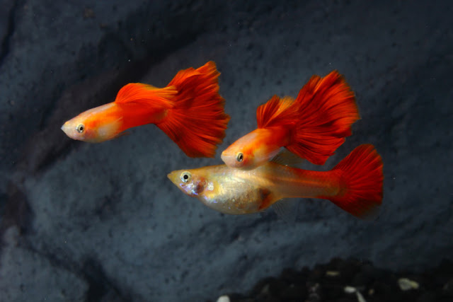 Dunia Ikan Hias - GUPPY RED BLONDE