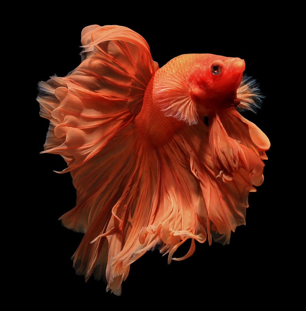 Ikan Cupang Orange Betta - Ikanhiasku.net