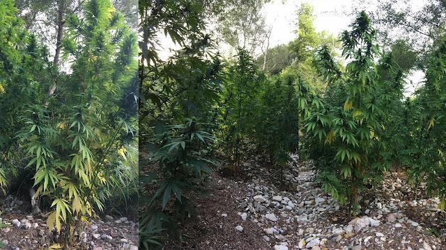 Ορφανή φυτεία με 37 δενδρύλια κάνναβης εντοπίσθηκε στη Μεσσηνία