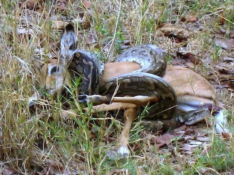 http://1.bp.blogspot.com/-laDzd9Qk9W4/T52hbGdgA2I/AAAAAAAAFOU/lZjfuvdnP0M/s640/rock-python-attacks.jpg Green Anaconda Attacks On Humans