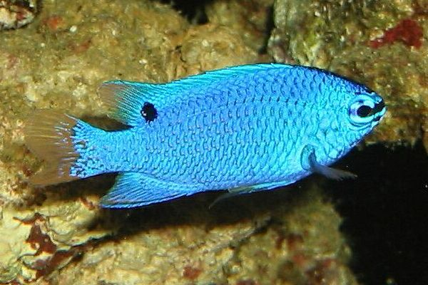 Damselfish Fishes World Hd Images Amp Free Photos