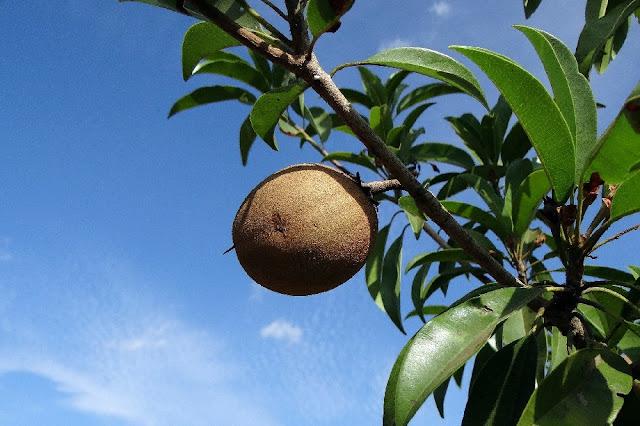 Gambar buah sawo