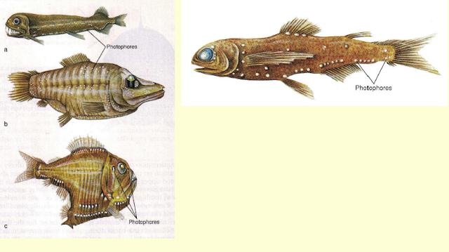 Ikan lantern, Bolinichthys dengan titik-titik photophore