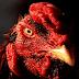 10 Rahasia Membuat Ayam Aduan Ganas dan Agresif