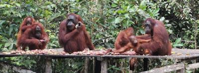 Los orangutanes de Borneo.