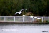 飛行する2羽のユリカモメの写真