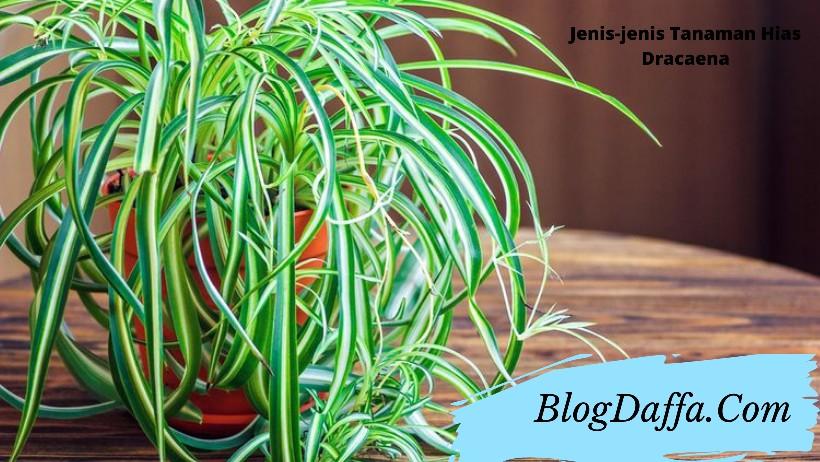 Jenis tanaman hias dracaena