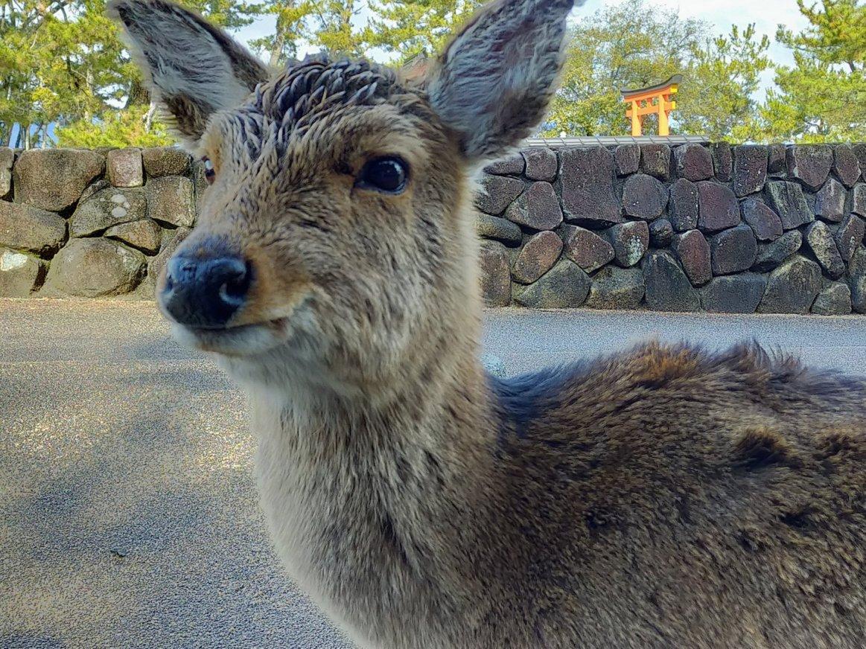 にっこり笑顔の宮島の鹿さん。