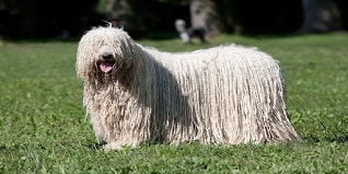 komondor de hungria perro ovejero