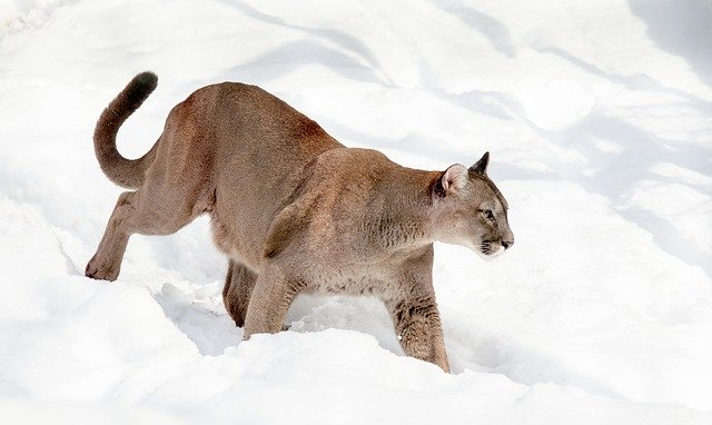 Fun Facts About Mountain Lions and P22