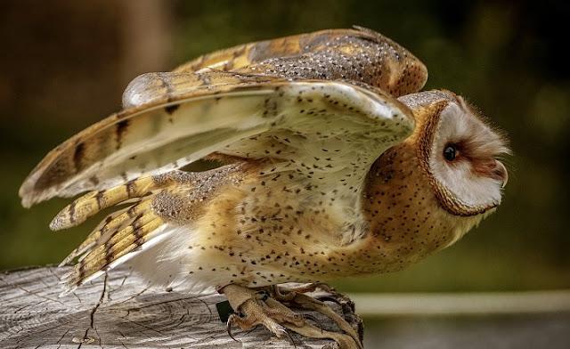 Contoh Gambar burung hantu