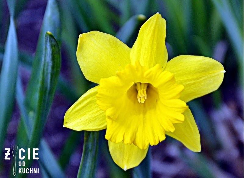 narcyz, ogrod, spacer, rozkwitaj na wiosne, wiosna, piekna na wiosne, jarmuz, ananas, maslanka,otreby, kiwi, zielony, koktajl, smoothie, kosmetyki, makijaż,