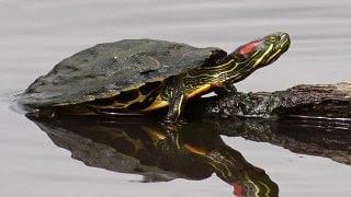adoptar galapago tortuga