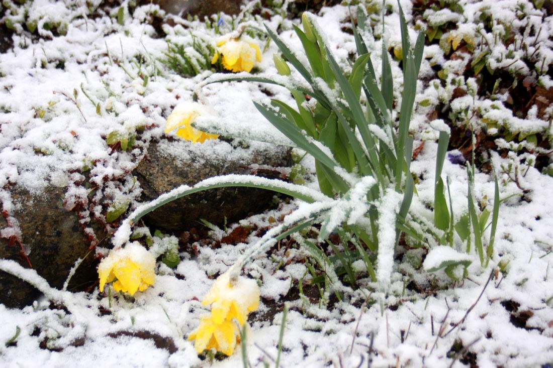 Narcisi sotto la nevicata di Pasqua 2017!