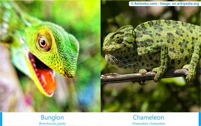 Perbedaan bunglon surai dan bunglon chameleon