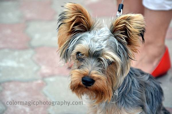Yorkshire Terrier sitting near his master's feet-portrait photo