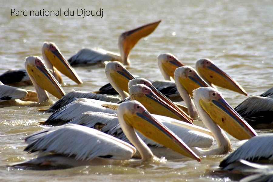 http://cherryvegzombie.blogspot.fr/2012/01/parc-national-du-djoudj-senegal.html
