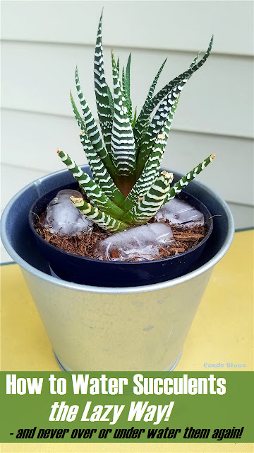 How to water succulents the lazy way